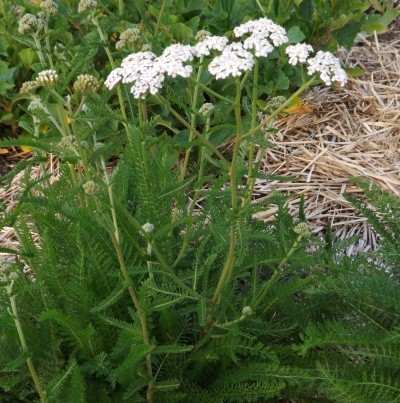 yarrow-white